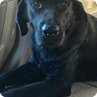 Labrador Retriever Mix Dog for adoption in McKinney, Texas - Mia