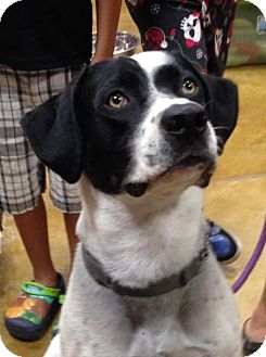 Pointer/Labrador Retriever Mix Dog for adoption in Manchester, New Hampshire - Dweezil