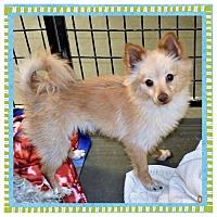 Adopt A Pet :: Pom male X - San Jacinto, CA
