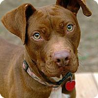 Adopt A Pet :: Sugar - Greenville, SC