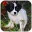 Photo 1 - Welsh Corgi/Papillon Mix Puppy for adoption in San Clemente, California - Sunshine