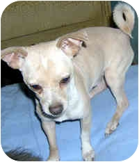 Chihuahua Dog for adoption in Jacksonville, Florida - Stewie