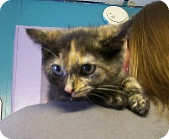 Domestic Shorthair Kitten for adoption in Dover, Ohio - Kandy