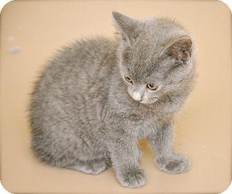 Domestic Shorthair Kitten for adoption in Bensalem, Pennsylvania - Abia