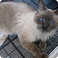 Adopt A Pet :: Bali - Columbus, OH