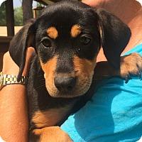 Adopt A Pet :: Montreal Adoption pending - Manchester, CT
