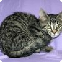 Adopt A Pet :: Ambra - Powell, OH