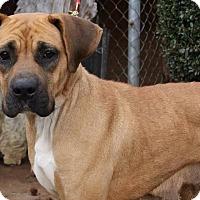 Adopt A Pet :: Bliss - Bardonia, NY