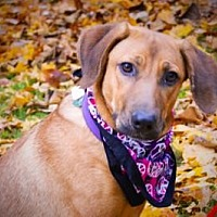 Labrador Retriever/Coonhound (Unknown Type) Mix Dog for adoption in Princeton, Kentucky - Stella