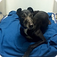 Greyhound Dog for adoption in Kansas City, Missouri - Ferrari