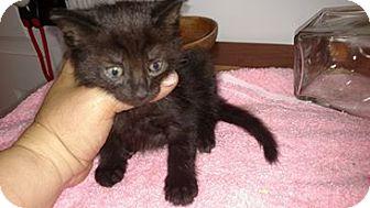 Domestic Shorthair Kitten for adoption in Monterey, Virginia - Jasper