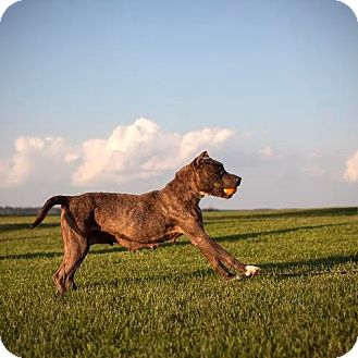 American Pit Bull Terrier Mix Dog for adoption in Elizabeth City, North Carolina - Joy   SOS