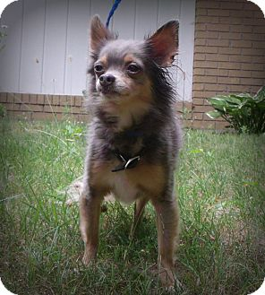 Chihuahua Mix Dog for adoption in Muskegon, Michigan - Little Dude (Maq)
