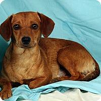 Adopt A Pet :: Maddox Beagle Dash Mix - St. Louis, MO
