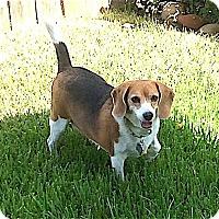 Beagle Dog for adoption in Houston, Texas - Maribelle