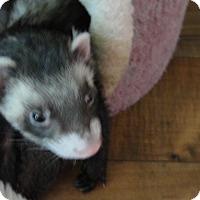 Adopt A Pet :: Sammy - Hartford, CT