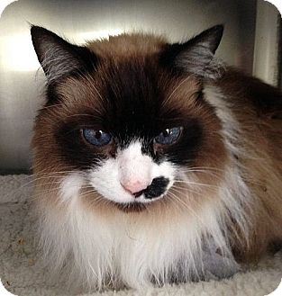 Domestic Longhair Cat for adoption in Port Angeles, Washington - Sammie