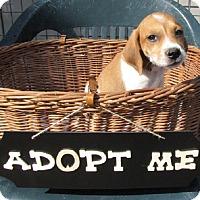 Adopt A Pet :: Nibbles - Oakland, AR