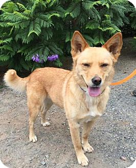 Finnish Spitz Dog for adoption in Penngrove, California - Josie