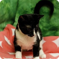 Domestic Shorthair Cat for adoption in Ocean, New Jersey - Krista