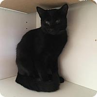 Domestic Shorthair Kitten for adoption in Westminster, California - Johnny