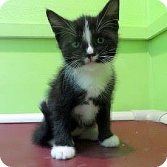 Domestic Shorthair Kitten for adoption in Janesville, Wisconsin - Prometheus