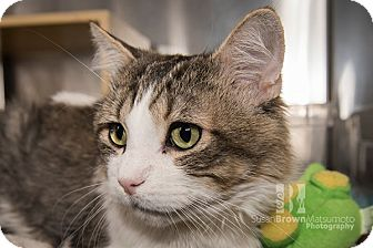 Maine Coon Cat for adoption in San Juan Capistrano, California - Cameron