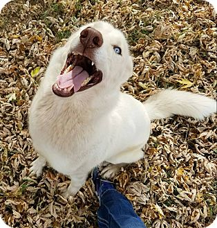 Siberian Husky Dog for adoption in Newcastle, Oklahoma - Xena