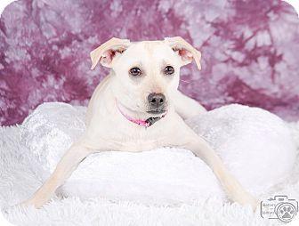 Greyhound/Shepherd (Unknown Type) Mix Puppy for adoption in Denver, Colorado - Sandy