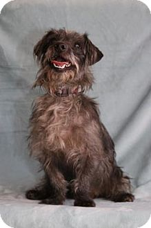 Terrier (Unknown Type, Small) Mix Dog for adoption in Yucaipa, California - Hitchcock