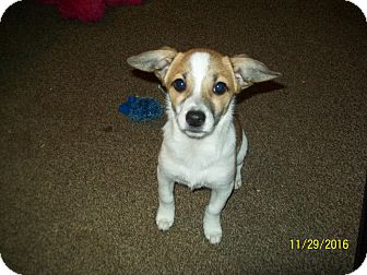 Fox Terrier (Toy)/Chihuahua Mix Puppy for adoption in EASTPOINTE, Michigan - BENTLEY