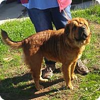 Adopt A Pet :: Amber - Mira Loma, CA