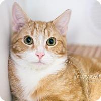 Adopt A Pet :: Joe - Reisterstown, MD