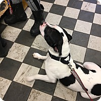 Adopt A Pet :: Lacy - Patterson, NY
