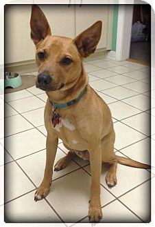 Australian Cattle Dog/German Shepherd Dog Mix Dog for adoption in Navarre, Florida - Tuna