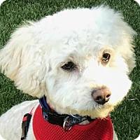 Adopt A Pet :: Buddy Bear - La Costa, CA