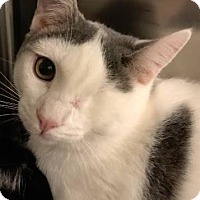 Domestic Shorthair Kitten for adoption in Trenton, New Jersey - Hello Kitty (and Tweety)