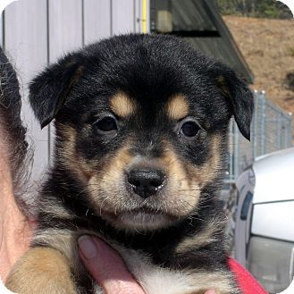 Rottweiler/German Shepherd Dog Mix Puppy for adoption in baltimore, Maryland - Tiara