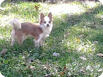 Lovey adopted dog staten island ny papillon for Papillon new york