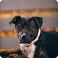 Adopt A Pet :: Joy - Portland, OR