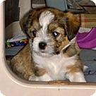 Adopt A Pet :: Dixie's Pup Darling