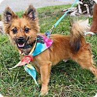 Adopt A Pet :: Kobi - Richmond, VA