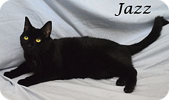 Domestic Shorthair Cat for adoption in Fryeburg, Maine - Jazz
