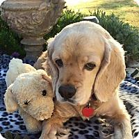 Adopt A Pet :: Bella - Santa Barbara, CA