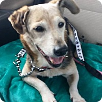 Beagle/Cardigan Welsh Corgi Mix Dog for adoption in Glen St Mary, Florida - Dillon