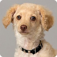 Adopt A Pet :: TONY - Pt. Richmond, CA