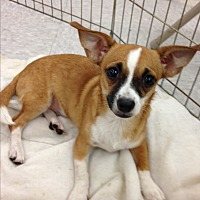 Chihuahua/Dachshund Mix Puppy for adoption in Inverness, Florida - Sage