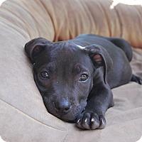 Adopt A Pet :: Leia - Eastpointe, MI