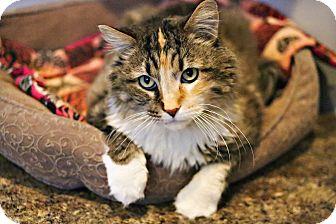Domestic Longhair Cat for adoption in Lincoln, Nebraska - Loretta