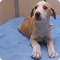 Adopt A Pet :: DOLLY - Ukiah, CA